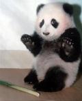 guilty panda